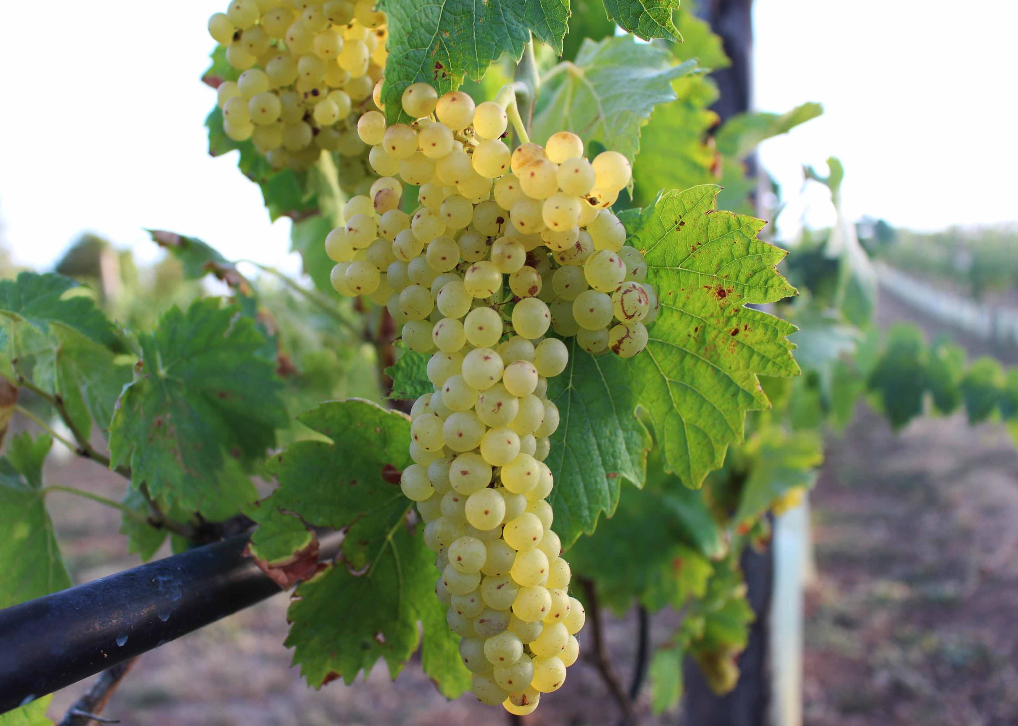 Come coltivare l uva cool ha una resistenza a scarsa e for Uva fragola in vaso