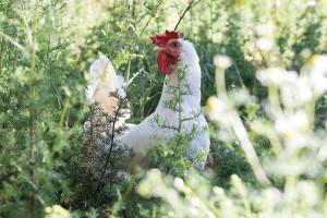 Agricola Valdarnese Montevarchi_Pollo White