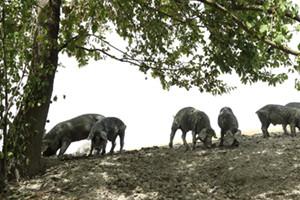 Breeding all & #039; open black pigs